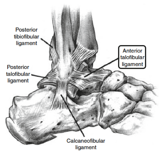 Ankle bones and ligaments